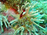 corail mou, arborescent, base crème, doigts longs, brun-grisâtre,polypes, pédonculés, 8 tentacules blancs