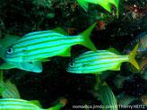 Poisson, ovale, allongé, corps argenté, 5 bandes jaune-doré, nageoires jaunes