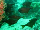 Poisson forme triangulaire, argenté rayé brun doré,  nageoire dorsale, pointe tache noire