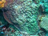 corail dur, plaque mince, encroûtante, marge dentée