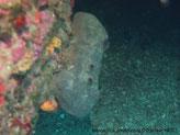 Eponge grise, massive, lobes arrondis, oscules alignées ou regroupés au sommet des lobes