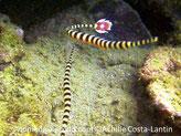 poisson, fin, allongé, rayé, brun-rougâtre et crème, queue arrondi, rouge point blanc au centre, bordure blanche