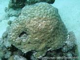 corail dur, encroûtant, corallites, orangé, centre crème ou vert-pâle