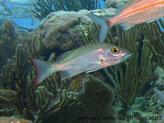 Poisson, comprimé, dos gris verdâtre, nageoire caudale à bordure rouge