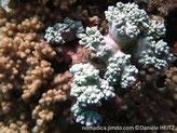corail mou, lobes massifs, trapus, surface bosselée,