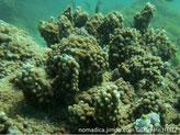 corail dur, encroûtant, surface bulbeuse