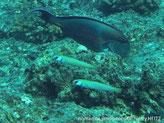 Poisson, corps allongé, jaunâtre, bandes étroites  verticales, jaune orangé bordées bleu violacé, taches sombre sous l'oeil, base nageoire pectorale , bande orange bordé bleu violet