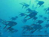Poisson, comprimé, nageoires dorsale et anale, lobes très allongés, bordure noire, queue très échancrée, bordure noire