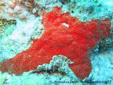 éponge incrustante, rouge-orangé, motif dispersé de veine avec oscule,