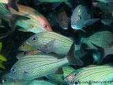 Poisson,  ovale, gris argenté, bandes horizontales bronze, ventre sombre, nageoire dorsale, avant jaune, arrière noire, queue noire marge jaunâtre, anale noire