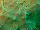 Epouge encroûtante jaune-verdâtre,petits conules, oscules, membrane surélevée, réseaux de canaux courts