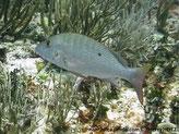 Poisson, comprimé, profond, argenté ou olivâtre, bandes verticales pâle, arrière dos, tache noire, joue, 1 ligne bleue  sous l'oeil à la partie supérieur opercule