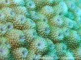 corail dur, encroûtant, corallites, forme dôme, papilles