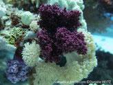 alcyonaire, trapu, violet à mauve, polypes