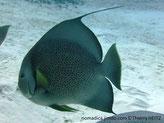 Poisson, très comprimé, gris, écailles noires marges claires, museau blanc, nageoires, dorsale et anale, long filament