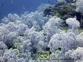 alcyonaire, arborescent, mauve-pâle,