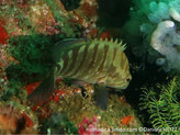 Poisson, verdâtre, bandes verticales vert-brunâtre,  nageoire dorsale , anale , bande noire bordé de bleu, queue, 2 bandes noires obliques bordées de bleu