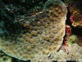 corail dur, plaque, corallites assez grosses, perlées