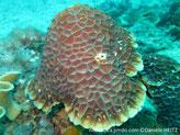 corail dur, forme casque, surface, corallites, hexagonales