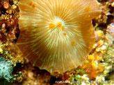 disque plat, rainures irrégulières, quelques tentacules discaux