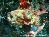 ascidie solitaire, forme de sac, rougeâtre, 2 siphons, intérieur noir taches blanches