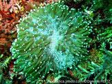 corail dur, non fixé, tentacules verts, terminaisons boules blanches