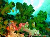 corail dur, branches ramifiées, vertes, corallites tubulaires