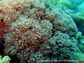 corail mou,  forme bouquet de fleurs, polype, tentacules pennés