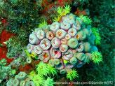 corail dur, groupe de tubes, polypes, forme fleur