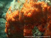 Eponge encroûtante orange, réseau de veine avec oscule
