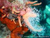 corail mou, orange, base avec forme digitée, polypes, pédoncule et tentacules pennés blancs