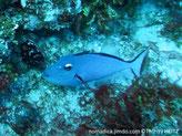 Poisson, ovale, bleu, 3 traits bleus sur la joue,  oeil demi-lune blanche, point blanc, base, nageoire dorsale et anale,  bande bleu foncé, queue, terminaison, croissant orange