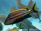 Poisson, comprimé, gris-argenté, dos, bande jaune, pédoncule caudal, tache jaune, moitié supérieure, bandes noires