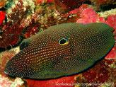 Poisson, corps ovale, très larges nageoires, couleur brun chocolat points blanc , oscelle noir cerclé bleue