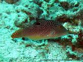 Poisson, ovale, brun orangé, points bleus, base dorsale, ocelle noir, ventre jaunâtre, yeux, lignes bleues rayonnantes