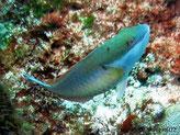Poisson, bleu-vert, dessous pâle,  sous oeil, ligne rouge-orangé  et petits points noire, arrière dos, tache blanche