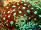 corail, colonie encroûtante, boutons charnus, rouge vif, centre vert