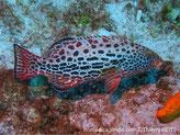 Poisson, corps brun rosâtre ventre clair, points rougeâtres, taches ovales brunâtres
