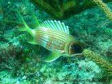 Poisson, fuselé, rose-orangé, lignes argentées, 1ère partie nageoire dorsale, gris bleuté, triangles blancs, nageoires jaunes