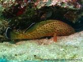Poisson, verdâtre crème, taches rouges, nageoires dorsale, anale, caudale, large marge noire, liseré blanc