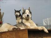 Jüngelchen Amarok und Yukon