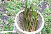 伝統行事 島 硫黄島 筍 たけのこ 大名 三島村 ツアー 鹿児島