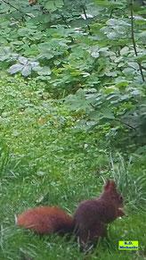 Eichhörnchen beim Nüssefressen unterm Vogelhäuschen von K.D. Michaelis
