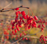 Approximately 2000 berries were collected during this study from different regions of Germany (Credit: nborisova)