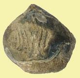 Athyris sp. (athyrid), Mittl. Devon, Kerpen, Eifel