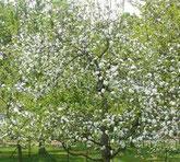 Apfel_1