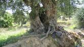 Weg durch mediterrane Landschaft, Olivenbäume, Zypressen. Geführte Wanderungen.