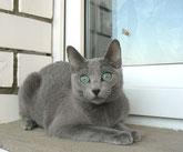 Купить котенка Русской голубой кошки, русская голубая