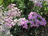 Schafgarbe, mit rosa/weißen Blüten. Foto Kirnstötter