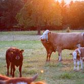 HellerHof Gelfingen: Mutterkuhhaltung Natura Beef